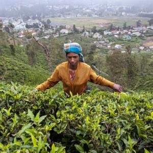 Progetto fotografico le madri di Ceylon di Francesca Guarnaschelli piantagione