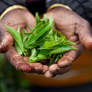 Progetto fotografico le madri di Ceylon di Francesca Guarnaschelli foglie