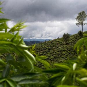 Progetto fotografico le madri di Ceylon di Francesca Guarnaschelli pianta particolare